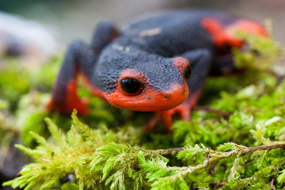 red-bellied newt