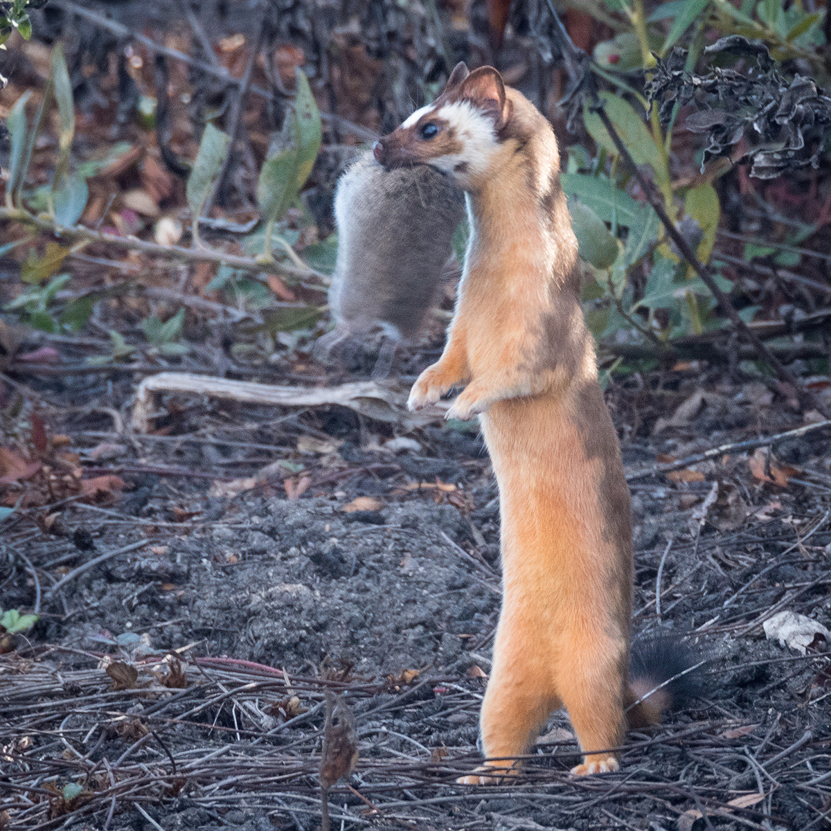 long tailed weasel and prey