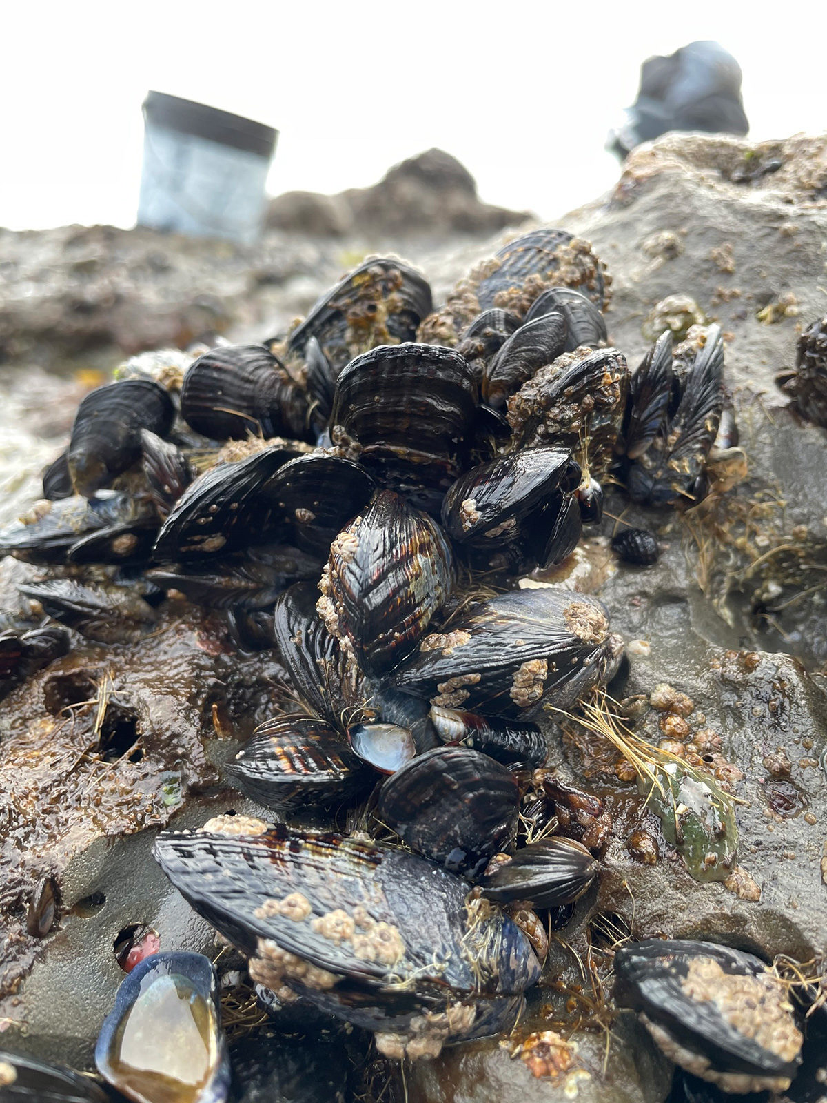 mussel bed at Pillar Point