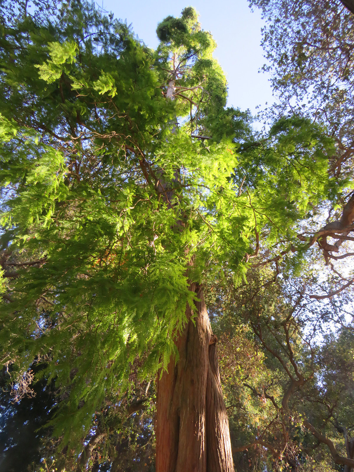 dawn redwood at UC Berkeley