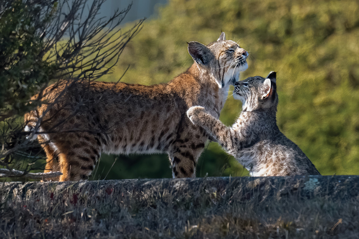 bobcat mother and cub