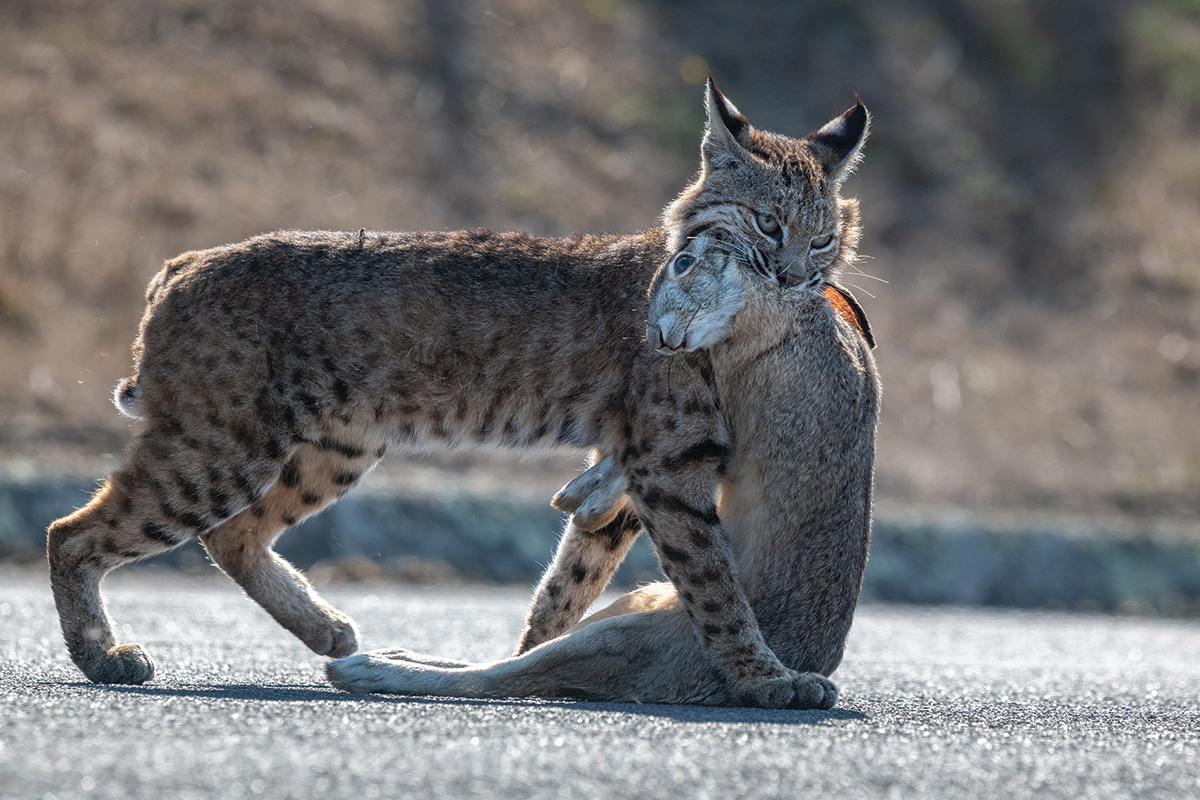 bobcat with jackrabbit