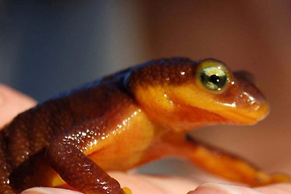 California newt. Creative commons photo by KQED/Quest